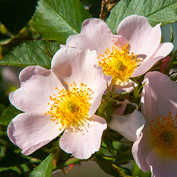 Muscat Rose Bush Oil