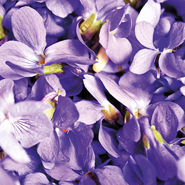 Violet Extract
