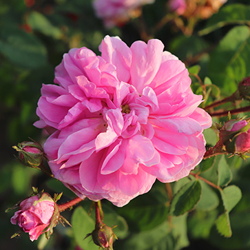 Cabbage Rose Extract
