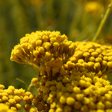 Immortelle Essential Oil from Corsica